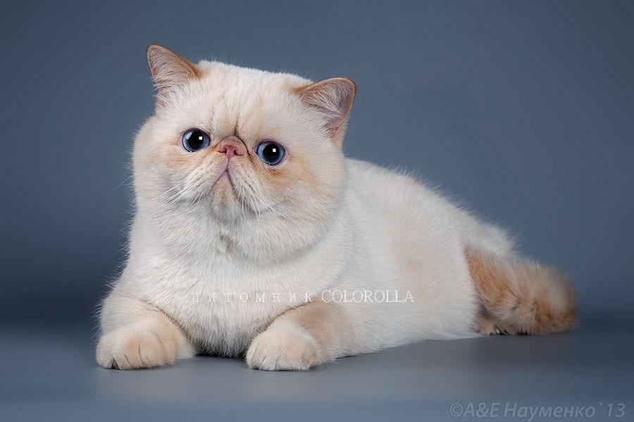 Питомник экзот кот